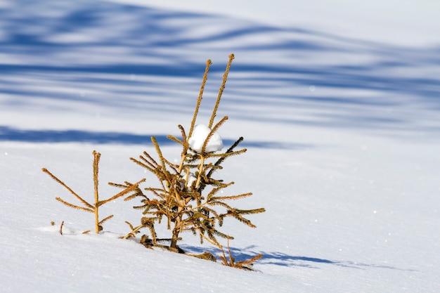 Piękny krajobraz zimowy boże narodzenie. mały młody zielony przetargu jodła świerk rośnie samotnie w głębokim śniegu na zboczu góry na zimny słoneczny mroźny dzień na jasnym, jasnym tle białej kopii.