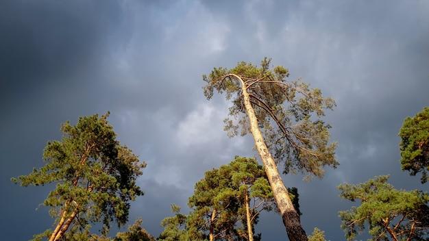 Piękny krajobrazowy obraz wysokiej sosny w lesie na ciemnym niebie z ciężkimi deszczowymi chmurami