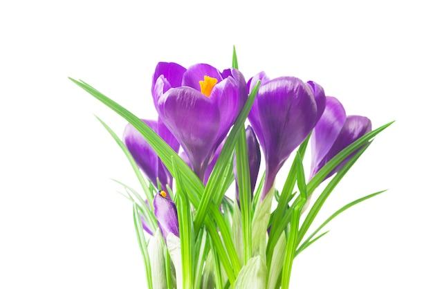 Piękny krokus - świeże wiosenne kwiaty. bukiet kwiatów fioletowego krokusa.