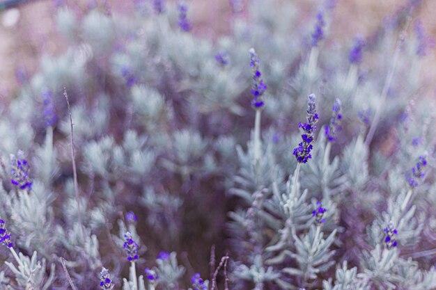 Piękny krzak purpurowe lato lawendy w polu