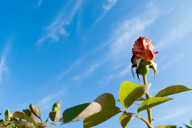 Piękny krzew czerwonych róż w letnim porannym ogrodzie na jasny letni dzień i błękitne niebo. kopiuj przestrzeń