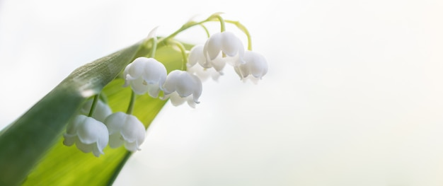 Piękny kwiat białej konwalii kwitnie w polu na tle jasnego nieba.