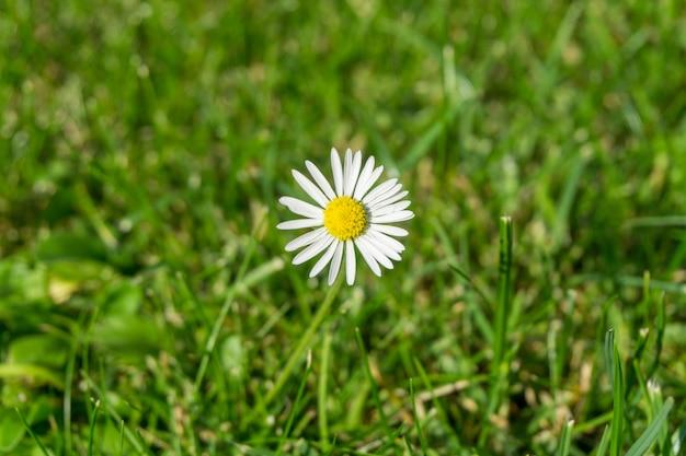 Piękny kwiat biało płatków oxeye daisy w trawiastym polu