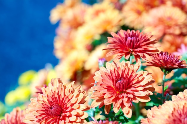 Piękny kwiat bordo chryzantemy