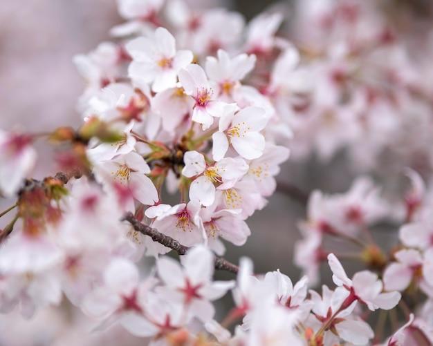 Piękny kwiat brzoskwini w japonii