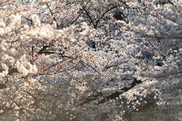 Piękny kwiat brzoskwini w tokio w świetle dziennym