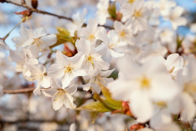Piękny kwiat brzoskwini