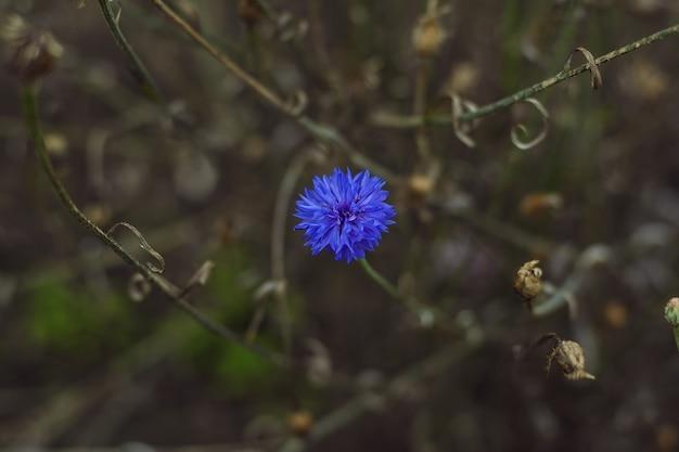 Piękny kwiat chabrowy w lecie w ogródzie