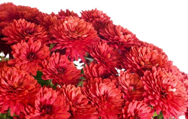 Piękny kwiat chryzantemy magenta (jesienne żywe tło) na białym tle