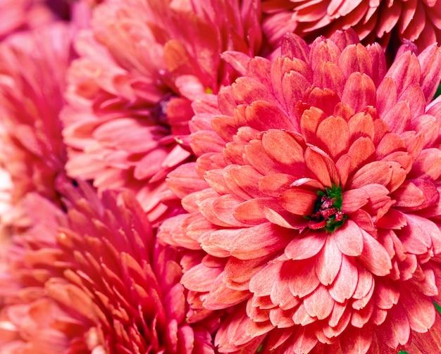 Piękny kwiat chryzantemy magenta (jesienne żywe tło)