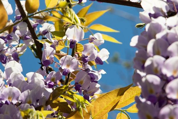 Piękny kwiat glicyniazbliżenietradycyjny japoński kwiat