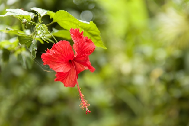 Piękny kwiat hibiskusa z czerwonymi płatkami i zielonymi liśćmi