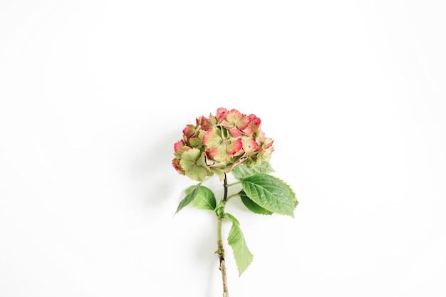 Piękny kwiat hortensji na białym tle