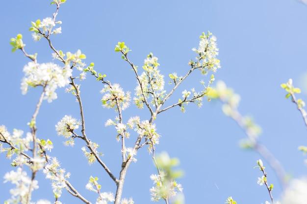 Piękny kwiat jabłoni