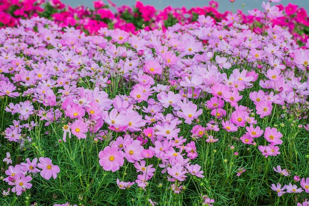 Piękny kwiat kosmosu w polu