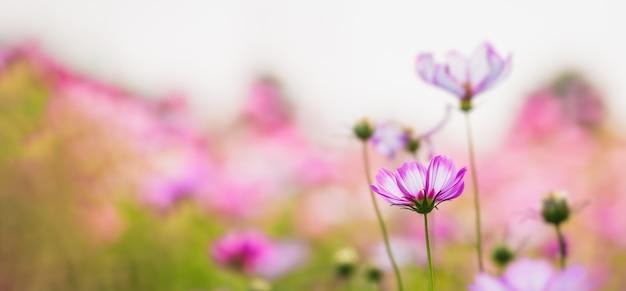 Piękny kwiat kosmosu