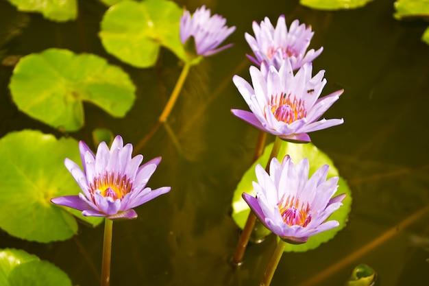 Piękny kwiat lilia wodna lub kwiat lotosu