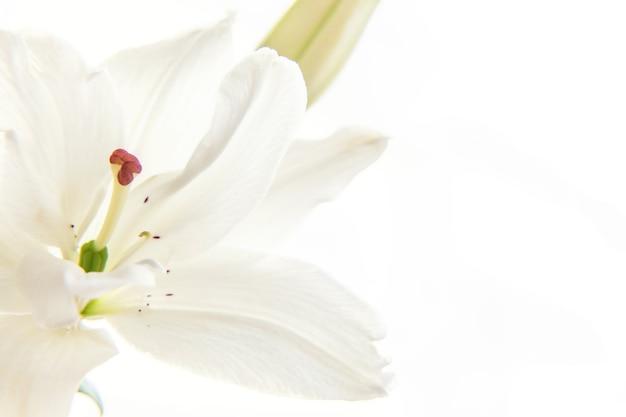 Piękny kwiat lilii białej bliska szczegółów w okresie letnim
