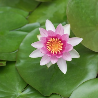 Piękny kwiat lilii wodnej na tle zielonych liści w wodzie. roślina wodna.