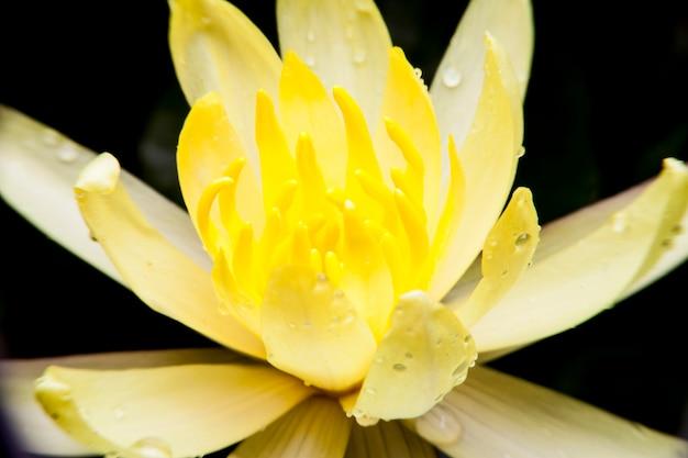 Piękny kwiat lotosu lub lilia wodna.
