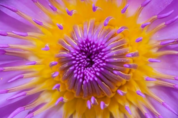 Piękny kwiat lotosu lub lilia wodna