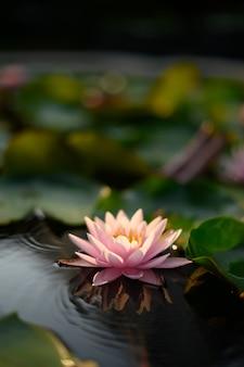 Piękny kwiat lotosu na wodzie po deszczu w ogrodzie.