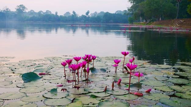 Piękny kwiat lotosu w stawie w kompleksie angkor wat, siem ream, kambodża.