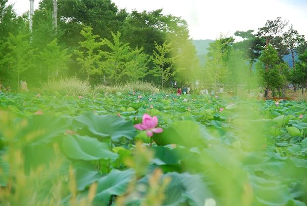 Piękny kwiat lotosu w wodzie