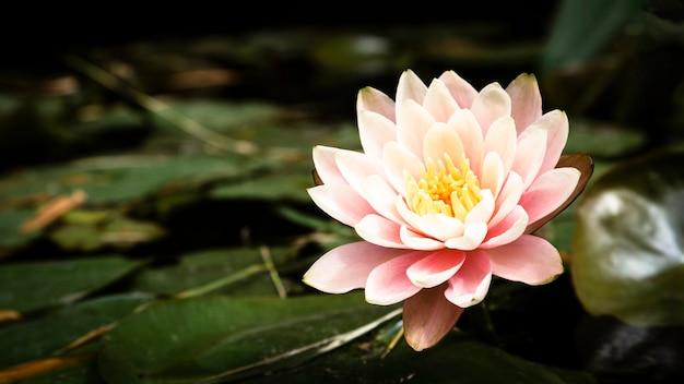Piękny kwiat lotosu zbliżenie