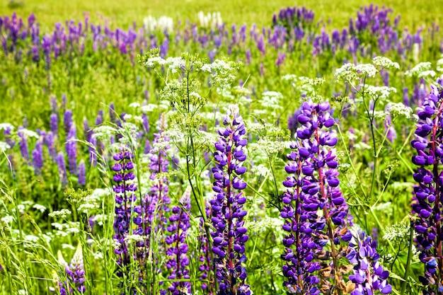 Piękny kwiat łubinu niebieski zbliżenie prawdziwe cechy natury w okresie wiosennym roku