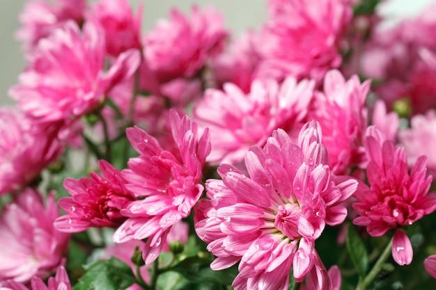 Piękny kwiat magenta chryzantema jesień żywe tło (z rosą)