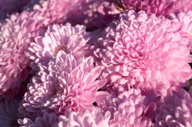 Piękny kwiat magenta chryzantema jesień żywe tło