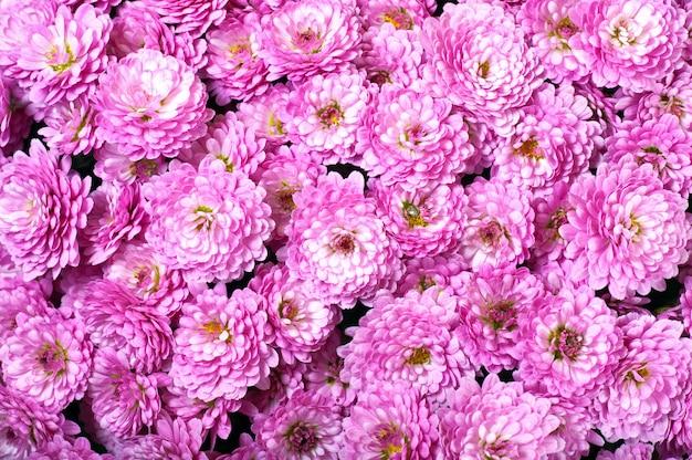 Piękny kwiat magenta chryzantemy jesienią żywy