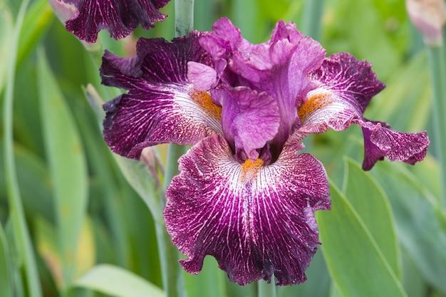 Piękny Kwiat Magenta Irys Premium Zdjęcia