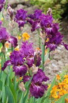 Piękny kwiat magenta irys
