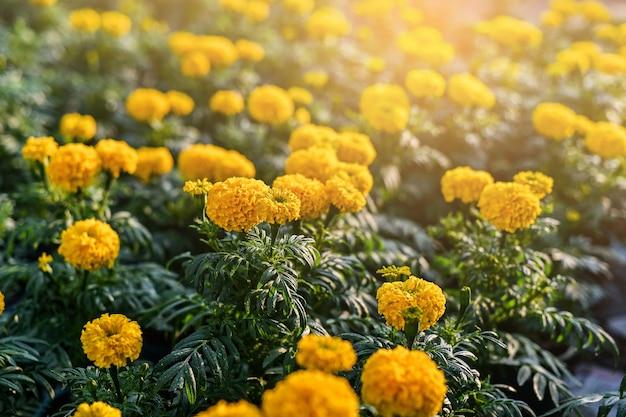 Piękny kwiat nagietka (tagetes erecta, meksykański, aztec lub afrykański nagietek) w ogrodzie.