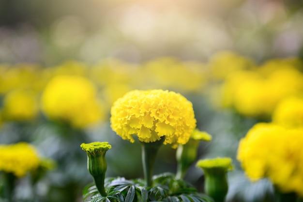 Piękny kwiat nagietka (tagetes erecta, meksykański, aztecki lub afrykański nagietek) w ogrodzie.