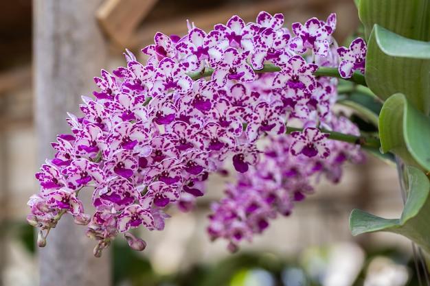 Piękny kwiat orchidei kwitnący w porze deszczowej. rhynchostylis orchidaceae