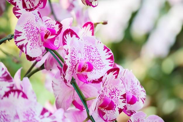 Piękny kwiat orchidei phalaenopsis kwitnący w ogrodzie kwiatowy tle
