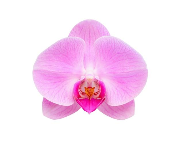 Piękny kwiat orchidei phalaenopsis na białym tle