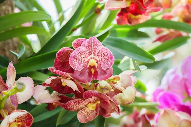 Piękny kwiat orchidei vanda kwitnący w ogrodzie kwiatowy tle