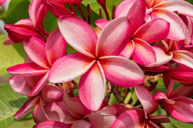 Piękny kwiat plumeria lub frangipani z bliska tło.