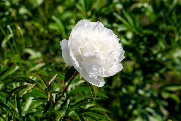 Piękny kwiat roślin obraz kwitnąca piwonia makro fotografia z bliska