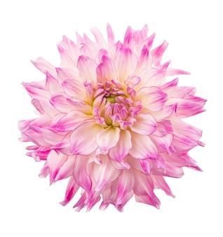 Piękny kwiat różowej dalii na białym tle na białej powierzchni