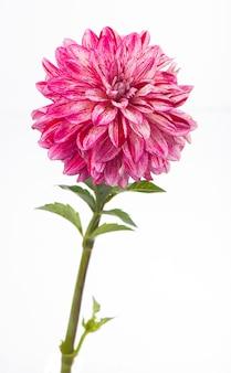Piękny kwiat różowej dalii na białym tle na białej ścianie