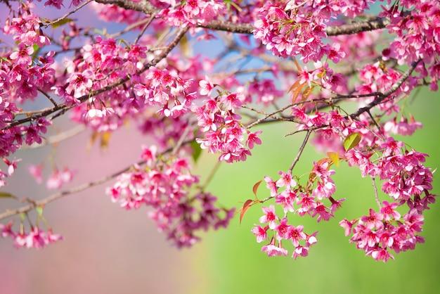 Piękny kwiat różowy kwiat wiśni sakura kwiaty na światło słoneczne rano