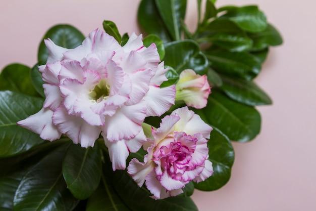 Piękny kwiat róży lub adenium z zielonymi liśćmi na różowym tle