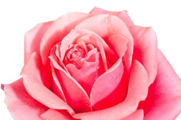 Piękny kwiat róży na białym tle