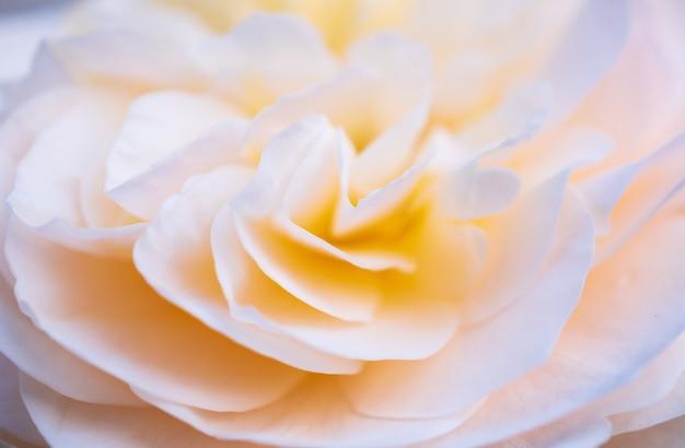Piękny kwiat róży z bliska abstrakcyjne tło