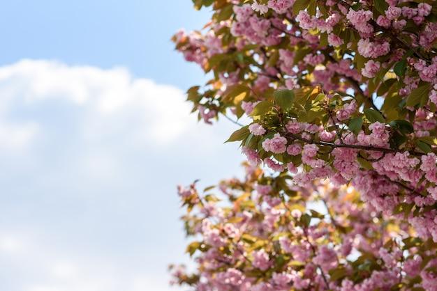 Piękny kwiat sakury (kwiat wiśni) na wiosnę. kwiat drzewa sakura na niebieskim niebie.
